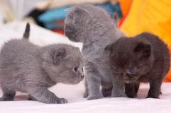 Bei giovani gatti scozzesi Fotografia Stock