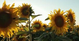 Bei girasoli nello sfondo naturale del campo, fioritura del girasole Sunny Day Prores, movimento lento archivi video