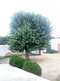 Bei grandi alberi verdi fotografia stock