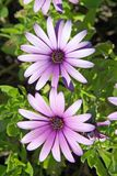 Bei grandi fiori dentellare o viola Fotografia Stock