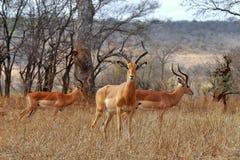 Bei impalas maschii Fotografia Stock Libera da Diritti