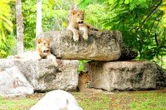 Bei leoni africani fotografia stock libera da diritti