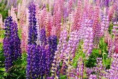 Bei lupini multicolori della montagna immagini stock