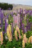 Bei lupini multicolori della montagna immagine stock