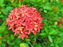 Bei mazzi rossi del fiore in Sri Lanka Fotografia Stock Libera da Diritti