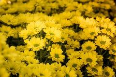 Bei mummie o crisantemi gialli Fotografie Stock
