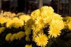 Bei mummie o crisantemi gialli Immagini Stock
