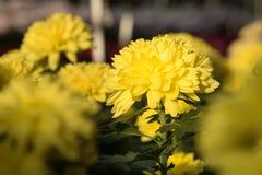 Bei mummie o crisantemi gialli Fotografia Stock