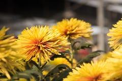 Bei mummie o crisantemi gialli Fotografie Stock Libere da Diritti
