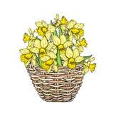 Bei narcisi in un canestro di vimini Illustrazione di vettore nasals Mazzo dei fiori della sorgente royalty illustrazione gratis