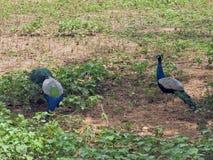 Bei pavoni in Sri Lanka Immagini Stock Libere da Diritti