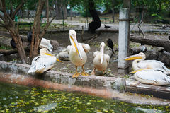 Bei pellicani bianchi Immagine Stock Libera da Diritti