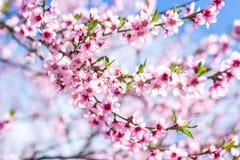 Bei peschi di fioritura in primavera di un giorno soleggiato fuoco molle, sfuocatura naturale immagine stock libera da diritti