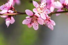 Bei peschi di fioritura in primavera di un giorno soleggiato fuoco molle, sfuocatura naturale immagine stock