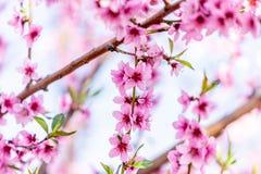 Bei peschi di fioritura in primavera di un giorno soleggiato fuoco molle, sfuocatura naturale fotografia stock libera da diritti
