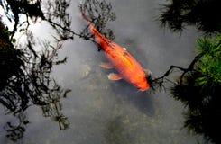 Bei pesci cinesi della carpa o di koi in acqua Immagini Stock Libere da Diritti