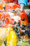 Bei pesci della carpa Immagine Stock