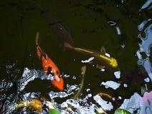 Bei pesci di Koi in uno stagno video d archivio