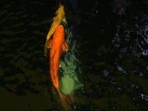 Bei pesci di Koi in uno stagno archivi video