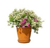 Bei petali bianchi e porpora di Bougianvillea con le foglie verdi nelle terraglie arancio dell'argilla isolate su fondo bianco fotografia stock