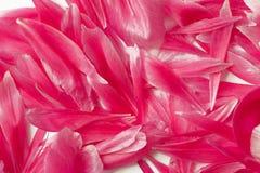Bei petali della peonia Fotografia Stock