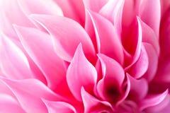 Bei petali di Dahlia Flower rosa (pinnata della dalia) Immagine Stock