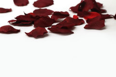 Bei petali di rose rossi Immagine Stock