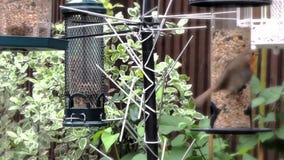 Bei pettiross nel giardino stock footage