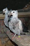 Bei piccioni per i concorsi Fotografia Stock Libera da Diritti
