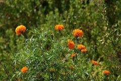 Bei piccoli fiori dei colori arancio La natura è magnifica fotografia stock