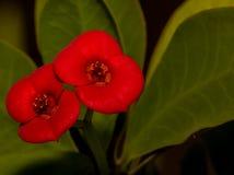 Bei piccoli fiori rossi Fotografie Stock
