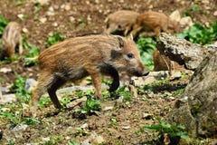 Bei piccoli maiali selvaggi in natura Natura russa, zona di Voronezh Animale nella foresta immagini stock libere da diritti