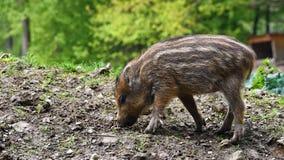 Bei piccoli maiali selvaggi in natura Natura russa, zona di Voronezh Animale nella foresta immagini stock