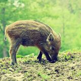 Bei piccoli maiali selvaggi in natura Natura russa, zona di Voronezh Animale nella foresta fotografia stock