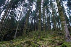 Bei pinetrees nella foresta in primavera nel Belgio Immagine Stock