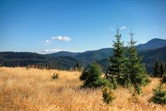 Bei pini sull'alta montagna del fondo Fotografia Stock