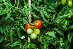Bei pomodori nel giardino di estate Fotografia Stock