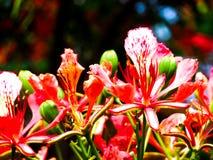 Bei radianti del fiore rosso perfezionano immagine stock libera da diritti