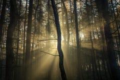 Bei raggi dorati di Sun nella foresta del terreno boscoso Immagine Stock