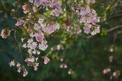Bei rami dei fiori di rosea di tabebuia sull'albero immagini stock libere da diritti