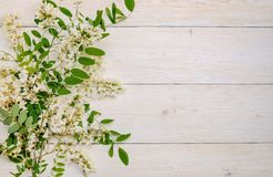 Bei rami del fiore dell'acacia della molla Immagini Stock Libere da Diritti