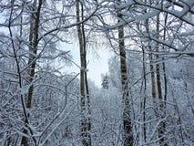 Bei rami di alberi nevosi, Lituania Fotografia Stock