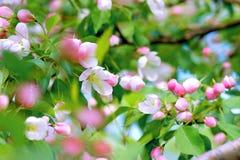 Bei rami di albero di fioritura in primavera fotografia stock