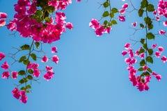 Bei rami di fioritura della buganvillea con un chiaro blu Fotografie Stock