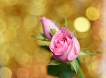 Bei rosa di rosa e fondo del bokeh fotografia stock