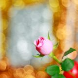 Bei rosa di rosa e fondo del bokeh immagini stock