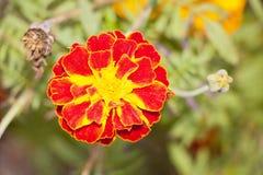 Bei tageti luminosi del fiore Fotografia Stock
