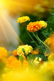 Bei tageti (tagetes) Immagine Stock
