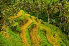 Bei terrazzi del riso al villaggio di Tegalalang, Ubud, Bali Immagini Stock