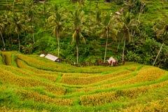Bei terrazzi del riso al villaggio di Tegalalang, Ubud, Bali Fotografia Stock